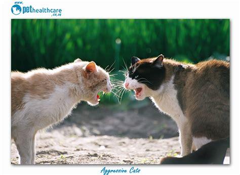 on aggression in the home aggressive cats in the home pethealthcare co za