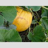 Pumpkins Growing   800 x 600 jpeg 147kB