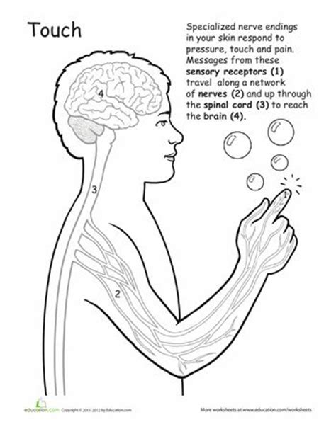 anatomy and physiology coloring workbook answers page 41 17 best images about anatomy for on