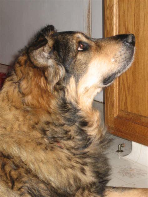 nasal tumors in dogs canine nasal tumors