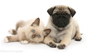 pets fawn pug pup 8 weeks birman cross kitten photo wp26596