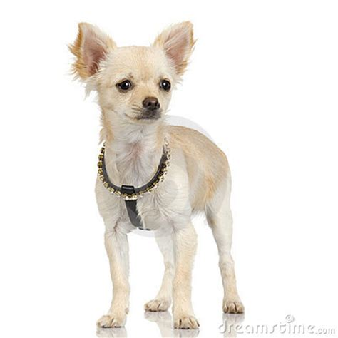 pictures of long haired chihuahua haircuts long haired chihuahua adult stock photo image 2672300