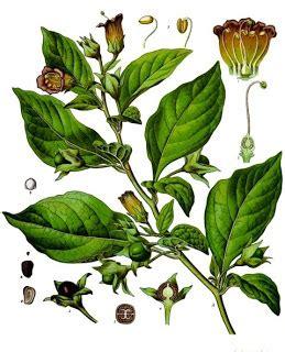 fiori attinomorfi solanaceae botanica pharm