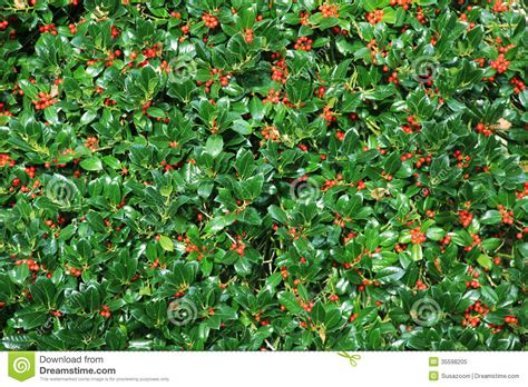 holly bush hedge with berries royalty free stock photo image 35598205