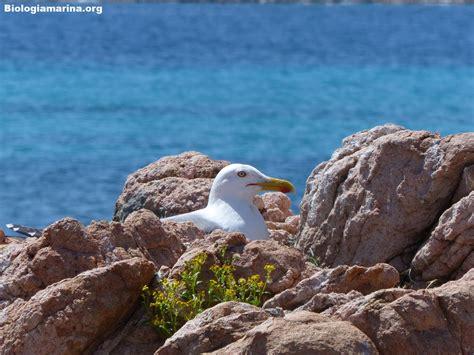 gabbiano reale mediterraneo gabbiano reale 52 biologia marina mediterraneo