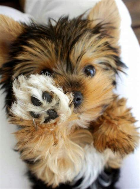 teacup yorkie characteristics 25 best ideas about terrier puppies on puppies