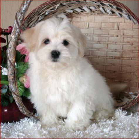 maltichon puppies maltichon maltese bichon frise designer puppies