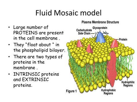 5 proteins in plasma membrane the cell membrane the boundary of the cell is called the