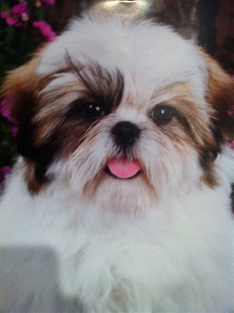 cutest shih tzu puppies pin shih tzu puppies relaxing pictures on