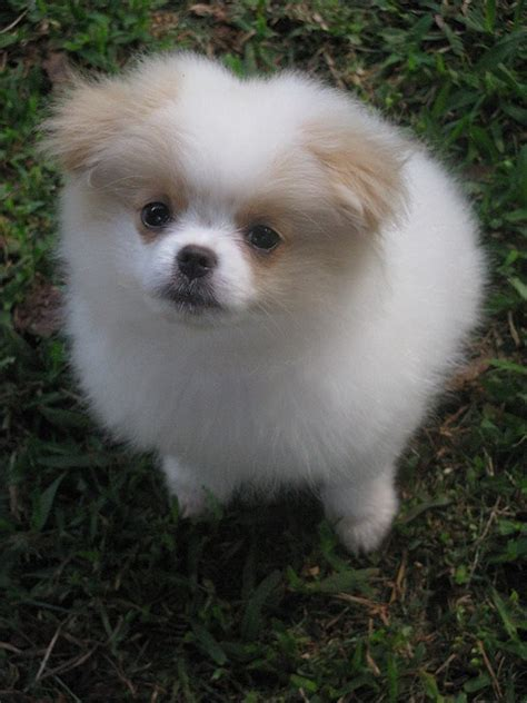 japanese chin x pomeranian 25 pomeranian cross breeds you to see to believe