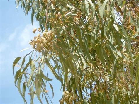 albero da giardino sempreverde alberi sempreverdi da giardino piante da giardino come