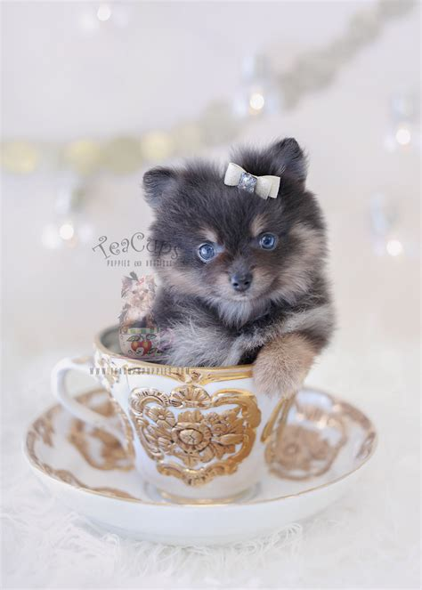 pomeranian boutique pomeranian puppies by teacups available teacups puppies boutique