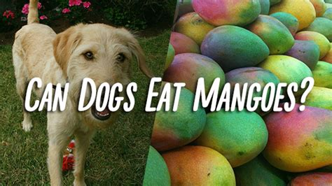 dogs eat mango can dogs eat mangoes pet consider