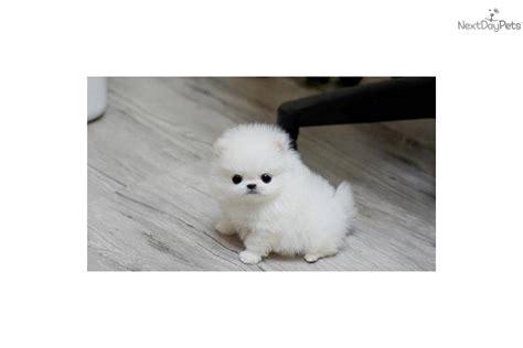 buy white teacup pomeranian pomeranian puppy for sale near sarasota bradenton florida d18810f5 7f81