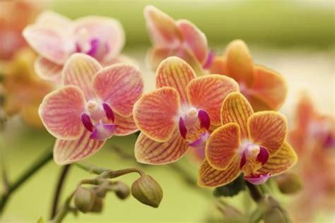orchidee in vaso come coltivare le orchidee non sprecare