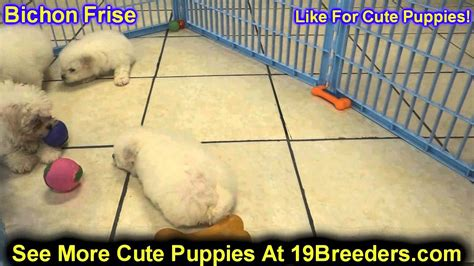 bichon frise puppies for sale in michigan bichon frise puppies for sale in detroit michigan mi waverly holt inkster