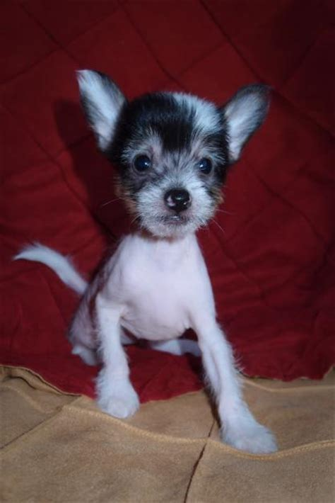 crested puppy black crested puppies www imgkid the image kid has it