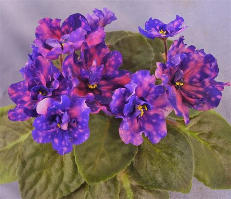 african violet african violet plant www pixshark com images galleries with a bite