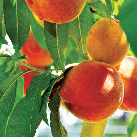 5 fruit tree 5 tips for fruit tree success