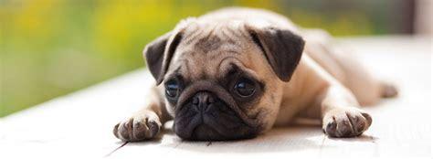 cani di piccola taglia per appartamento cani per appartamento piccola taglia idee creative e