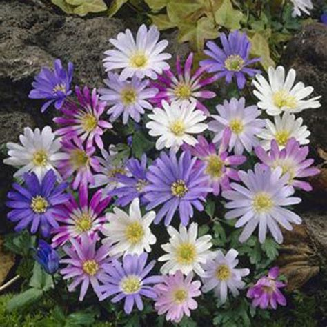 anemone blanda planting cottage garden flower bulbs to buy today from riverside bulbs