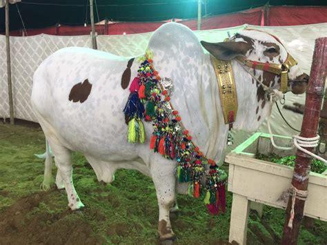 pakistani cow karachi cow mandi 2018 new pictures photos videos lahore