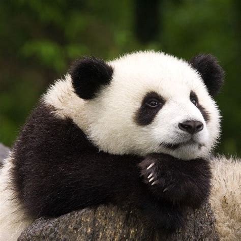 Baby Panda One baby panda www pixshark images galleries with