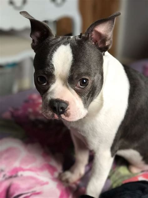 boston terrier puppies for sale kc registered boston terrier puppies for sale bristol