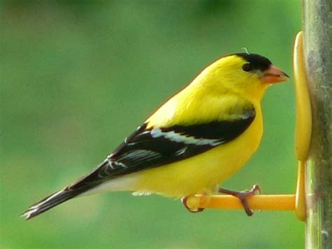 american goldfinch angelic hugs