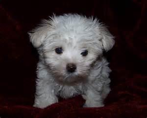 Maltese Puppies File Maltese Child Jpg