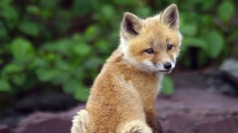The Foxes fox tales growing up