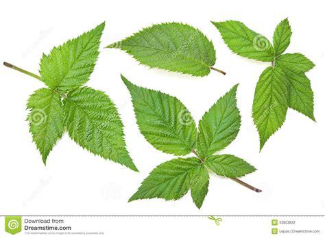Leave Set blackberry leaf set stock photography image 33803832