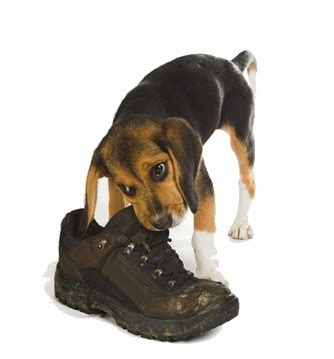 puppy chewing phase behavior problems