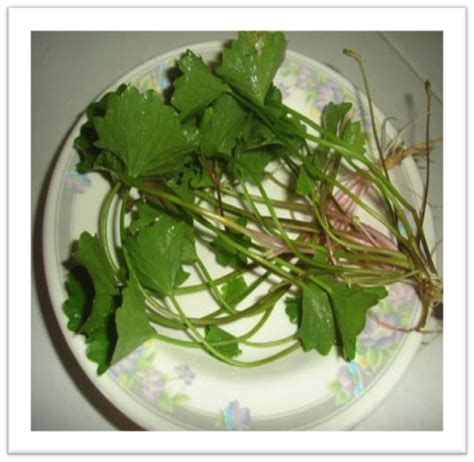 siri herba malaysia pegaga myagricommymyagricommy