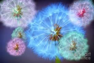 dandelion color delightful dandelions photograph by donald davis