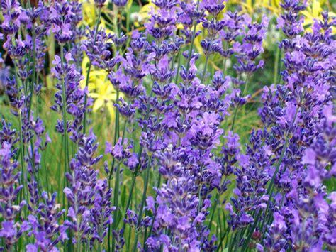 is lavender a perennial hidcote blue lavender herb 4 perennial plants 2 5