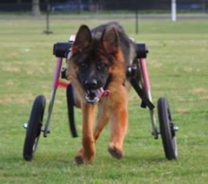 german shepherd rescue va animaltarian we re to 5 finalists petpartners inc