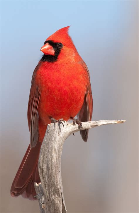 indiana s state bird the northern cardinal indiana
