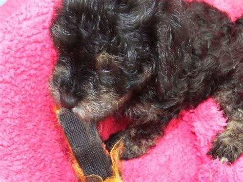 cavapoo puppies for sale in wisconsin friendly cavapoo puppies northwich cheshire pets4homes