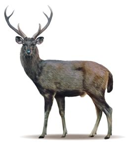 deer breeds deer species management authority
