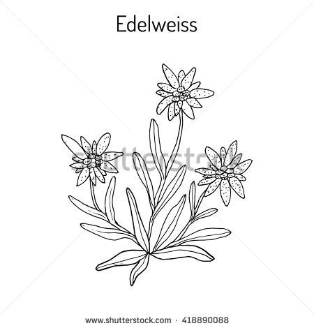 edelweiss flower coloring page twinflower coloring pages with names switzerland edelweiss