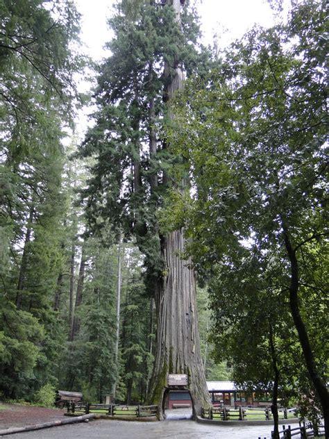 Panoramio Photo Of Chandelier Tree In Leggett Ca Chandelier Tree