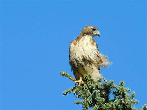 top of the world red tailed hawk ohio photograph by nancy