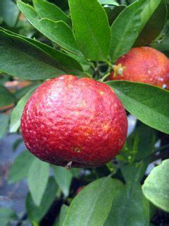 apple tree bandung frutto di clementino rubino bonsai pinterest veggies