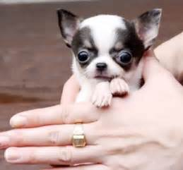 Teacup chihuahua the dog wallpaper best the dog wallpaper