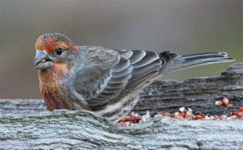 house finch diet unusual birds feederwatch