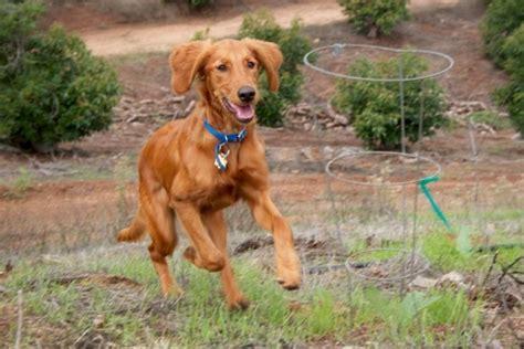 setter golden retriever mix puppies for sale golden retriever setter hybrid animals setter puppies