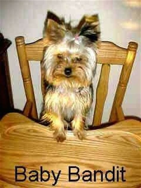 12 pound yorkie terrier breed pictures yorkie page 2