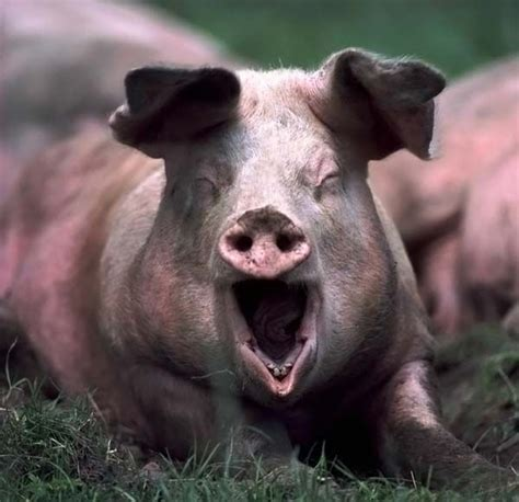 Squeal Piggy Piggy by Yawn