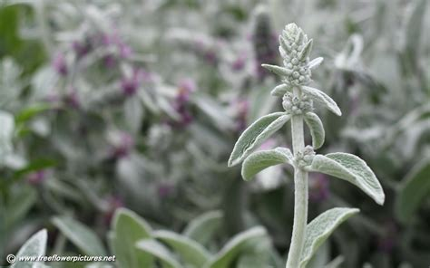 lamb s ear pictures